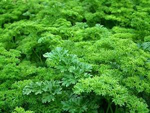 adems de su olor y de sus como condimento alimenticio el perejil es una de las plantas de exterior que ms usos puede tener